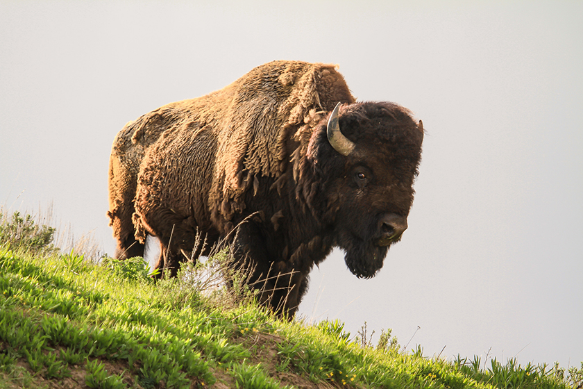 Bison at Yellowstone National Park. Photo NPS / David Restivo